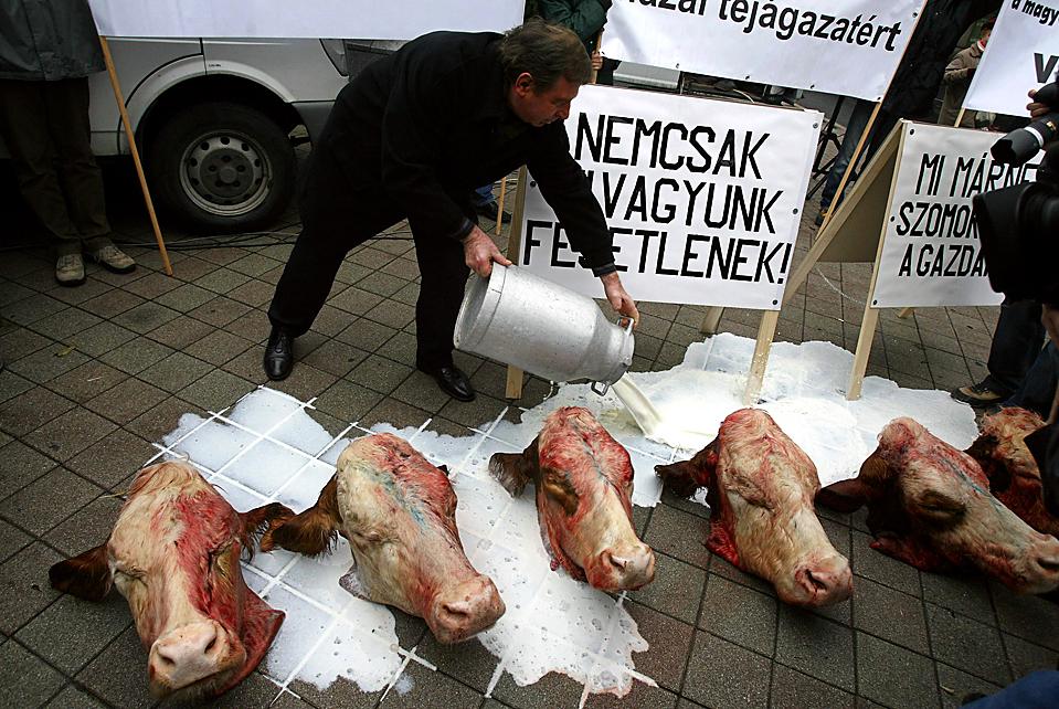 11) Фермер заливает молоком отрубленные коровьи головы в знак протеста против низких цен на молочные продукты и дешевый импорт из стран Европейского союза. Снимок сделан в Будапеште в четверг. (Karoly Arvai/Reuters)