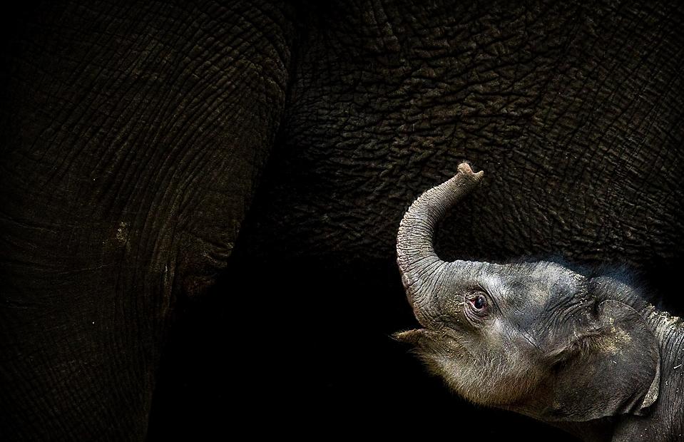 2) Новорожденный слоненок делает первые шаги к своей матери в Зоопарке Амерсфорт в Нидерландах. (Koen van Weel/Agence France-Presse/Getty Images)