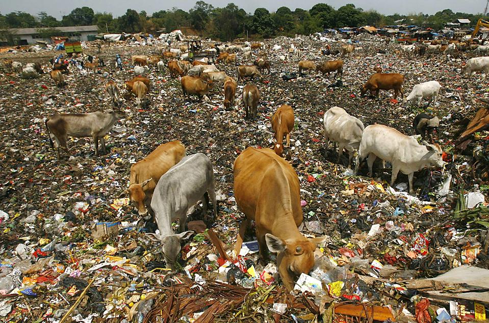 5) Скот в поисках еды на свалке города Макассар, Индонезия,. (Yusuf Ahmad/Reuters)