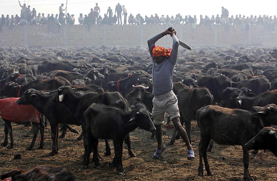 9) Человек за секунду до убийства животного во время массового жертвоприношения у храма богини Гадхимаи в деревне Барияпур в Непале. Сотни тысяч индуистов собрались здесь на церемонию, во время которой забиваются более 200 тысяч жертвенных животных. (Gemunu Amarasinghe/Associated Press)