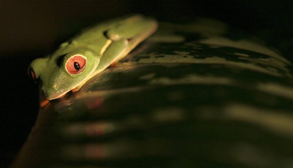 11. Редкий вид – красноглазая древесница – отдыхает на листке в заповеднике в Хередии, Коста-Рика. Численность тропических лягушек резко сократилась, и ученые сообщают, что повышение температуры мешает им быстро адаптироваться к изменяющимся условиям. (Kent Gilbert / AP)
