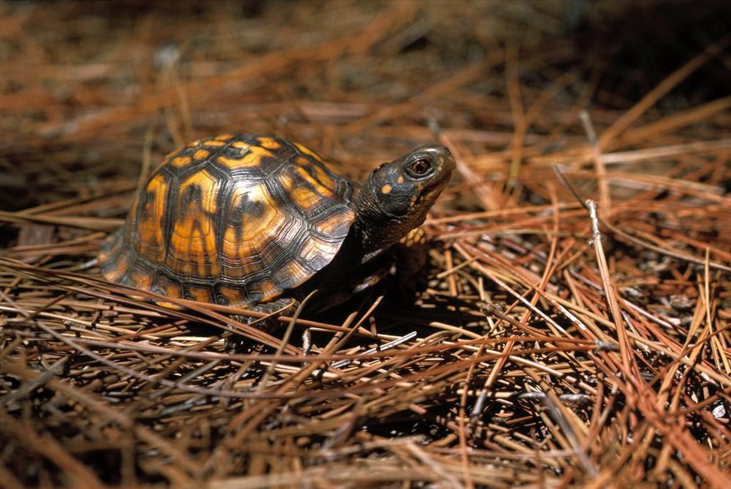 12. Самец восточной шарнирной черепахи отличается от самки красными глазами и даже во время отдыха всегда начеку. Относительно родственные подвиды обитают в восточной части США от штата Мэн до штата Алабамы. (Medford Taylor)