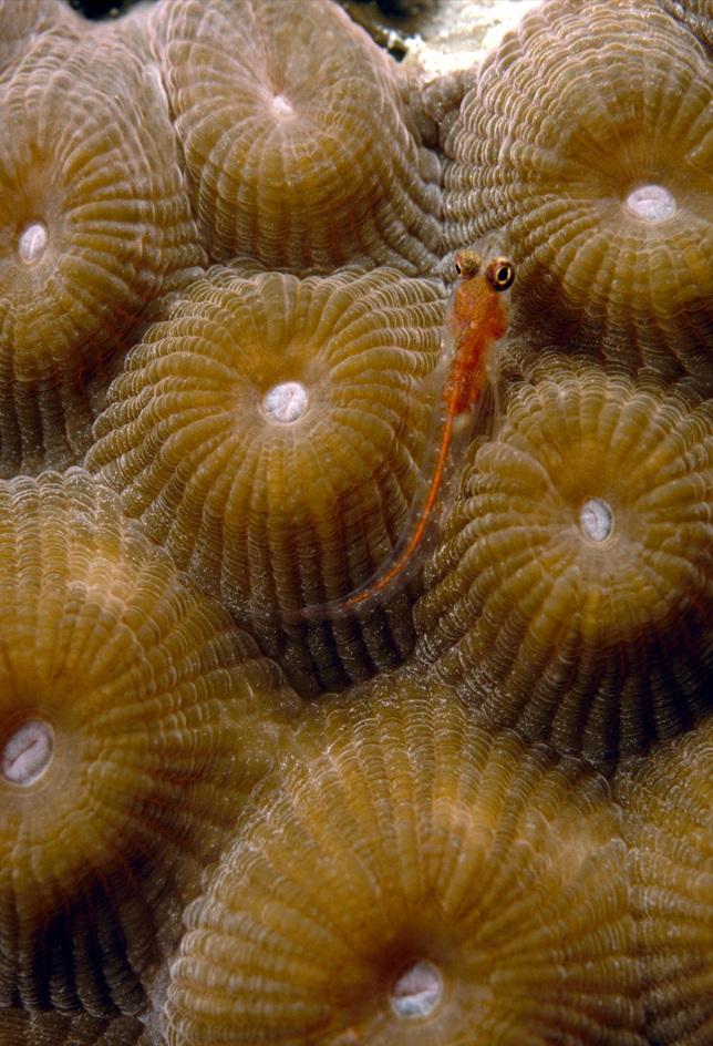 14. Яркая личинка рыбы проплывает над закрытым коричневым зоантидом на коралловом рифе недалеко от Бонайре. Этот карибский остров, облюбованный дайверами, является частью Нидерландских Антильских островов.