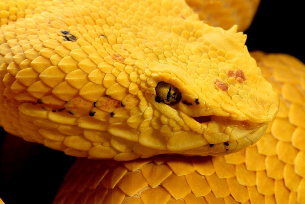 14. Эти змеи водятся в Центральной и Южной Америке и имеют самые разнообразные цвета, включая ярко-желтый, как этот вид. (George Grall)