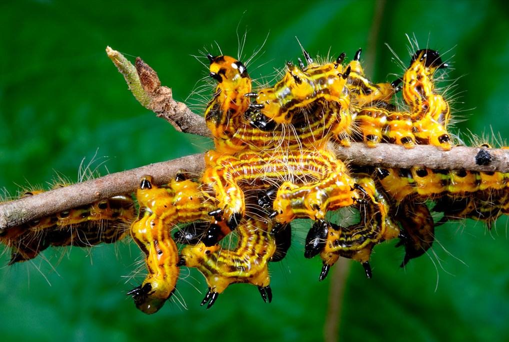 15. Желтоспинные гусеницы столпились на тонкой ветке вишни во Фредерике, штат Мэриленд. Эти насекомые, собирающиеся на деревьях в больших количествах, поедают листья дуба, но практически никогда не наносят непоправимого ущерба. (George Grall)