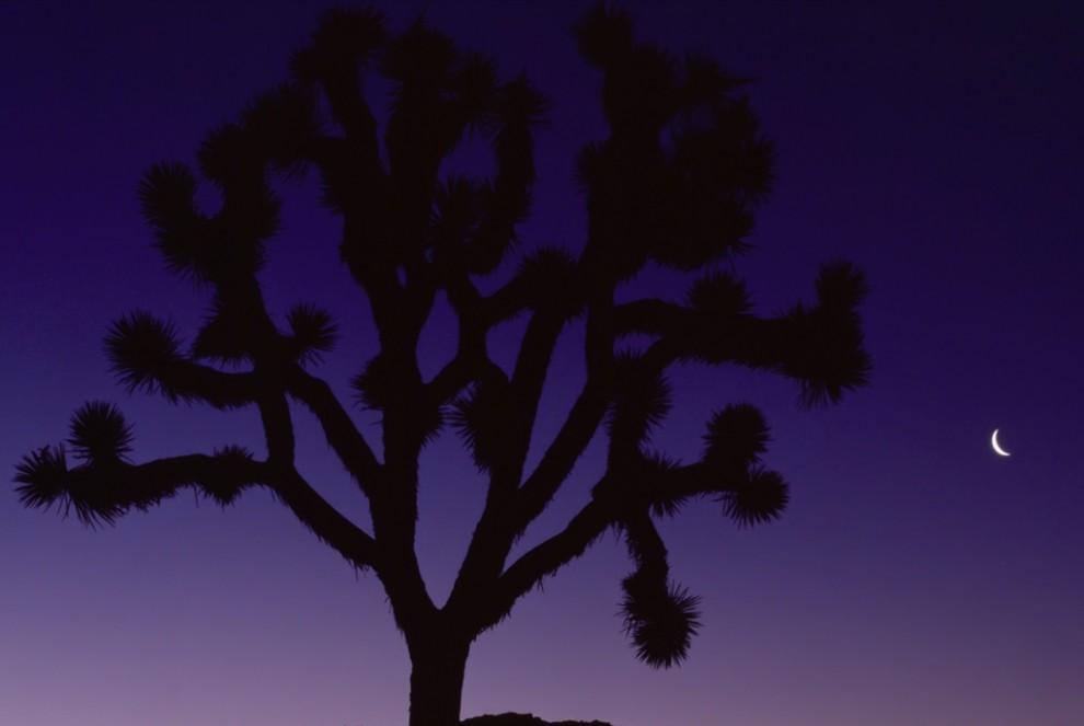 16. Юкка древовидная под лилово-черным небом в пустыне Мохейв в Калифорнии. Когда-то коренные американцы плели корзины и сандалии из листьев этого дерева и употребляли в пищу его почки и семена. (Tim Laman)