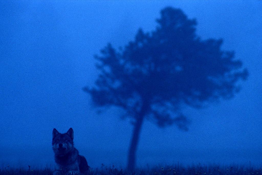 16. Утопая в голубых сумерках, серый волк смотрит на туманный пейзаж Национального парка Йелоустон на западе США. В середине 1990-ых животные снова появились в парке, где их не было почти 70 лет. (Joel Sartore)