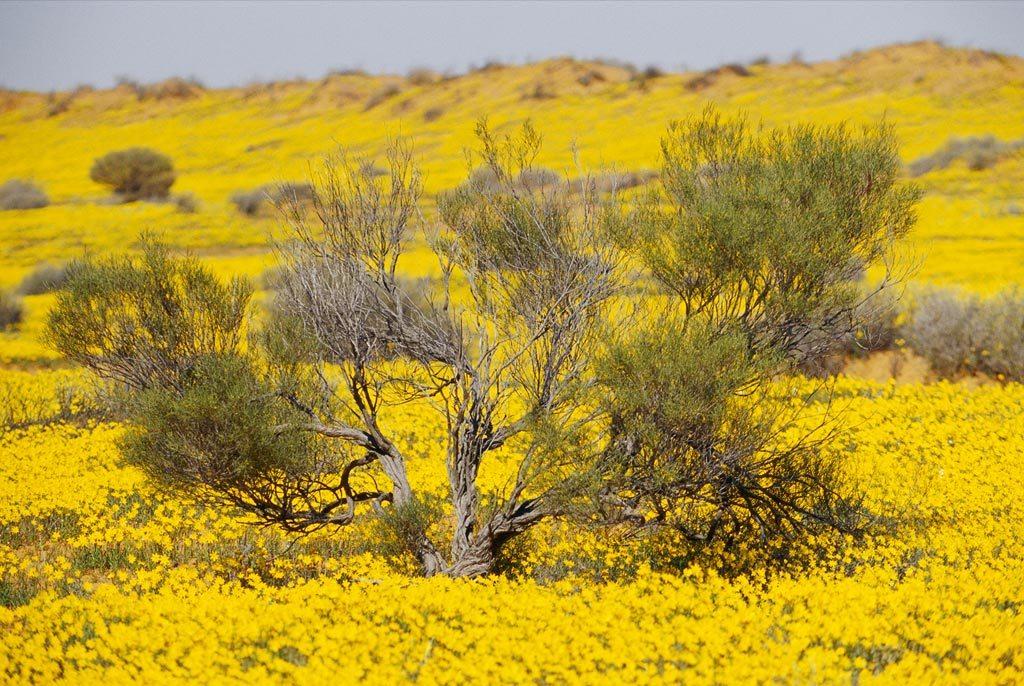 16. Побуждаемые редкими тропическими ливнями, полевые цветы охватили песчаные дюны Национального парка Австралии Симпсон. В этом районе выпадает менее 15 см дождя в год. (Jason Edwards)