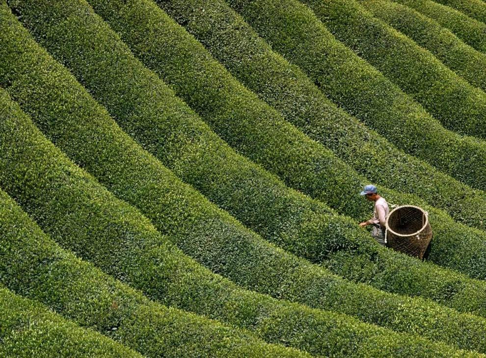 17. Японский сборщик чая собирает листья на поле в центральной японской горной префектуре Нара. Чай обладает богатой историей в Японии, однако сюда он попал из Китая. (George Mobley)
