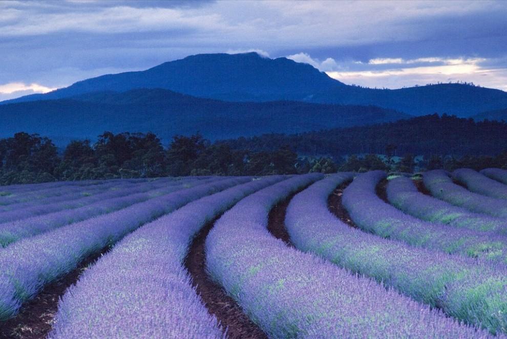 17.Земля и небо окрашиваются фиолетовым, когда ночь опускается на лавандовые поля в знаменитом поместье Брайдстоув в Тасмании. Это одна из крупнейших лавандовых плантаций  в мире. (Gerd Ludwig)