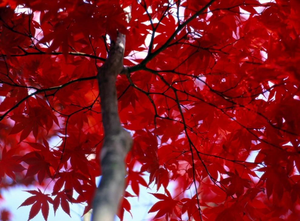 17. Клены в штате Мэриленд в богатом красном одеянии, так обожаемом любителями природы. Эксперты утверждают, что люди судят о качестве осенней листвы по наличию в ней красного цвета. (Al Petteway)