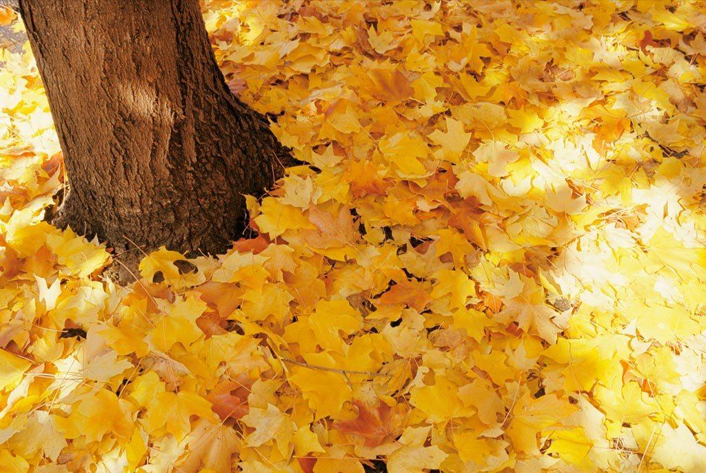 17. Одеяло осенних кленовых листьев накрыло землю золотом в Вашингтоне, округ Колумбия. Визуальное «качество» листвы каждой осенью определяется погодными условиями, такими как влажность и температура. (Stacy Gold)