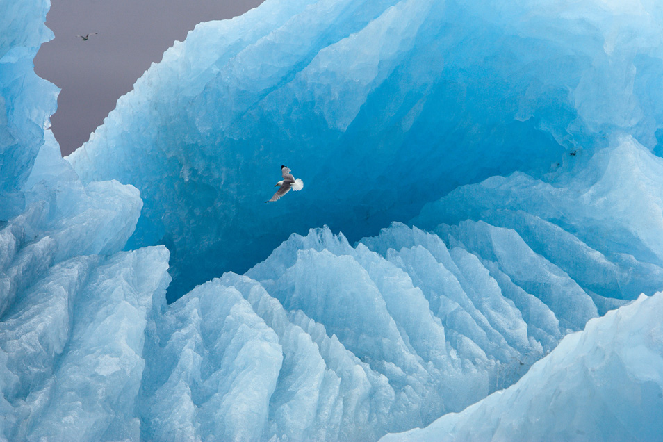 2) Исландская полярная чайка пролетает на фоне большого айсберга. Шпицберген, Норвегия.