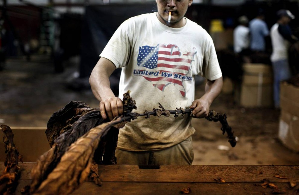 25. Рабочий-мигрант обдирает листья табака на ферме Дэнни Канингема в Кирски, штат Кентукки. Каннингем нанял четырех рабочих и команду из восьми испаноговорящих работников для сбора урожая на 1 821 гектарах земли. Он выращивает кукурузу, соевые бобы и 17 гектар жевательного и нюхательного табака. (Travis Garner/2009 Mountain Workshops)