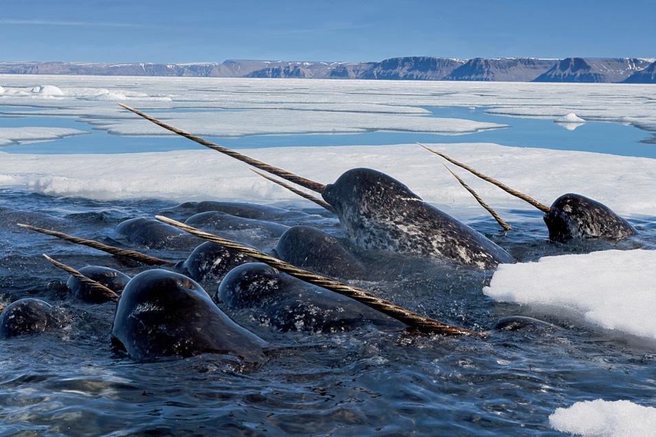 4) Нарвалы погружаются глубоко под лед, чтобы кормиться арктической треской, а затем, высоко подняв свои бивни, всплывают на поверхность подышать. Ланкастер Саунд, Нунавут, Канада.
