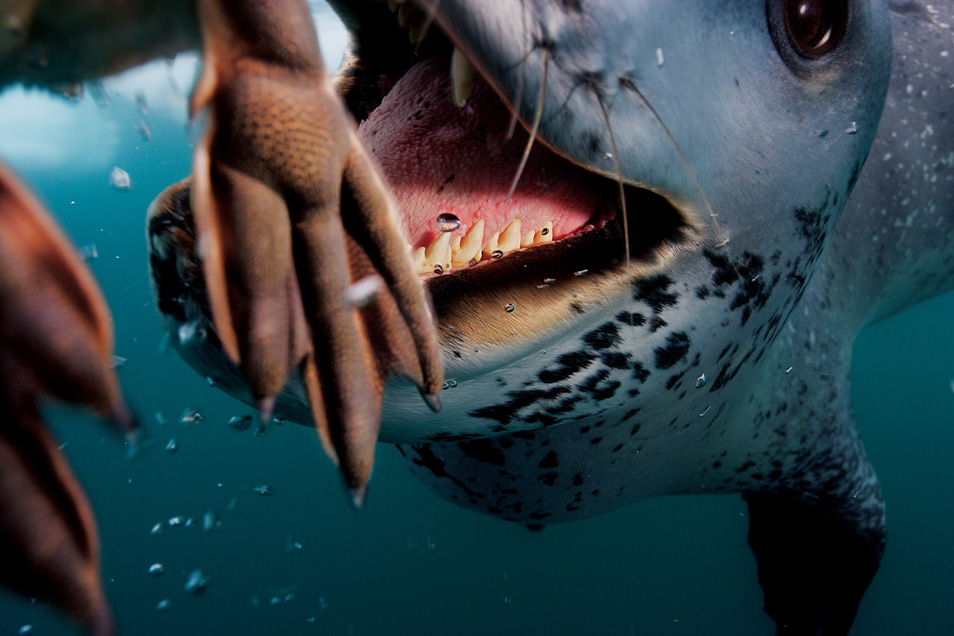 6) Морской леопард «кормит» фотографа Поля Никлена пингвинами. (Смотрите видео внизу) Антарктический полуостров.