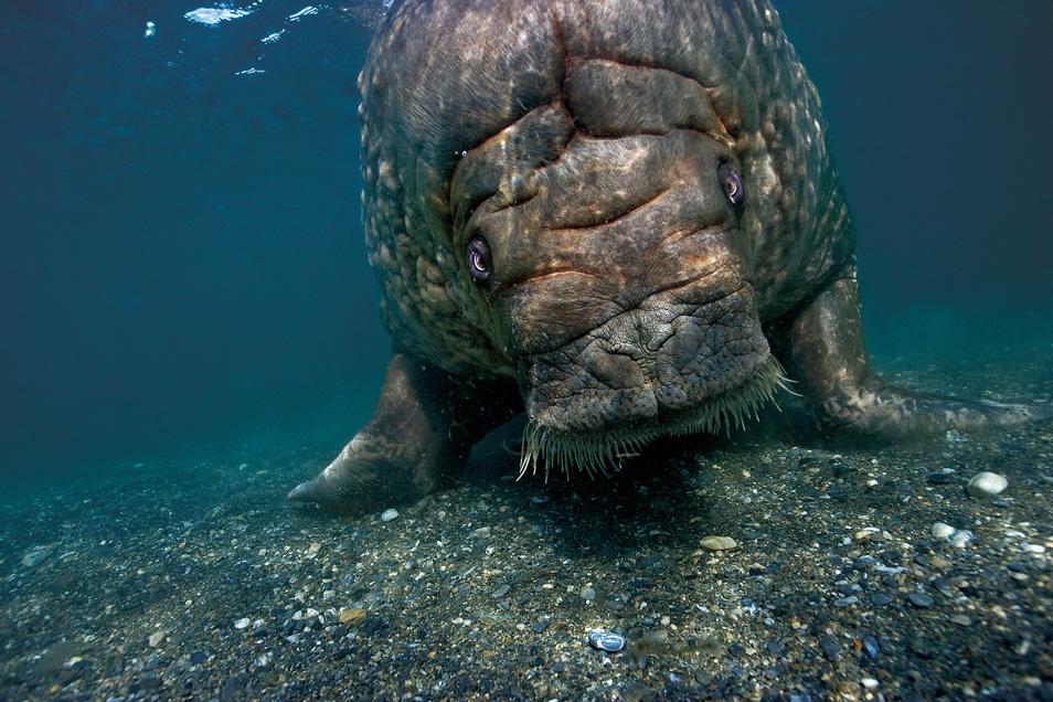 7) Крупный самец моржа плывет назад к берегам Принс Карл Форланд после того, как долго нырял и ел моллюсков. Шпицберген, Норвегия.