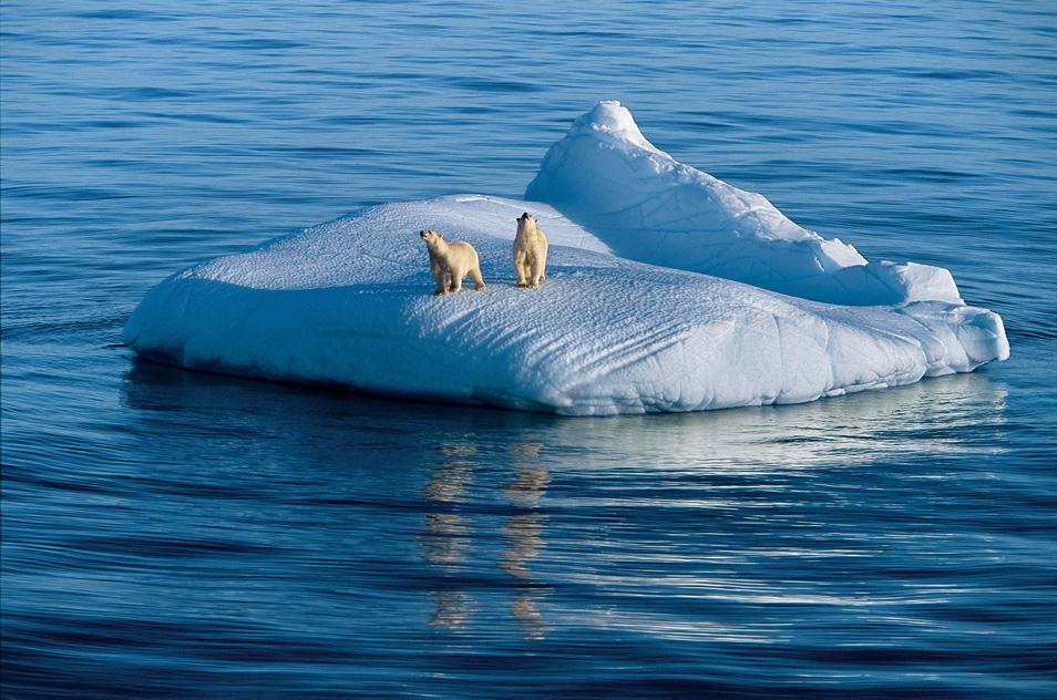 8) Медведица и ее двухлетний детеныш дрейфуют на льдине. Гудзонов пролив, Нунавут, Канада.
