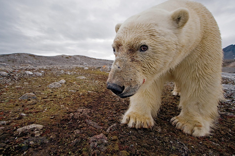 9) Заглядывая в свое неопределенное будущее, этот любознательный крупный самец медведя заставил камеру сработать и сделал этот автопортрет. Leifdefjorden, Шпицберген, Норвегия.