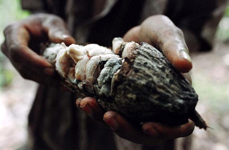 2. Ежегодно только в США продажи шоколада приносят 13 миллиардов долларов. Однако происхождение шоколада не так чарующе, как те конфеты, которые ваш любимый подарит вам на День святого Валентина. Бобы какао представляют собой сладкий сочный фрукт в твердой кожуре – плоде. Фермер сбивает плод с дерева, а затем раскалывает кожуру с помощью большого мачете. Затем бобы какао отделяют от мякоти и оставляют сушиться, после чего готовят к экспорту. Около 70% шоколада во всем мире привозят из Западной Африки, около 40% из них – с небольшой плантации Кот-д'Ивуар. (Jessica Dimmock / VII Network)