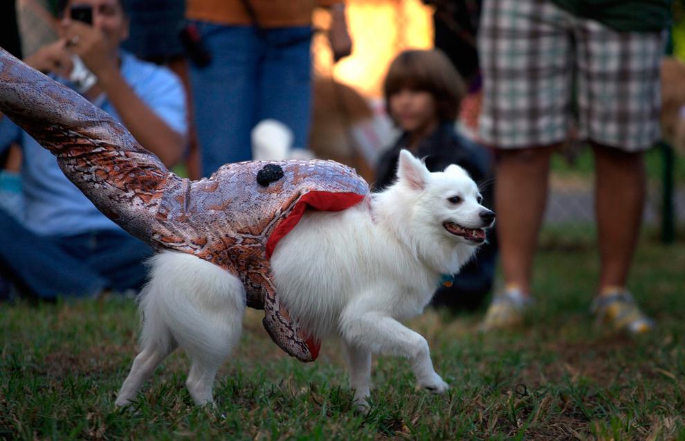 11. Собака по кличке Пудра в костюме жертвы питона принимает участие в ежегодном собачьем параде в честь Хэллоуина в районе Белль Мид, Майями, Флорида, 18 октября 2009 года. (REUTERS/Carlos Barria)
