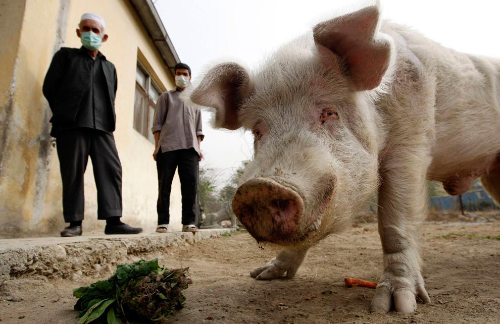 34. Два афганских смотрителя зоопарка смотрят, как ест единственная в Афганистане свинья по кличке Канжир. Снимок сделан в зоопарке Кабула 2 ноября 2009 года. Эта свинья – настоящая диковинка в мусульманском Афганистане, где свинина считается незаконной по причинам религии. Свинку поместили в карантин в июле, так как посетители испугались, что она может стать разносчиком болезни, но позже в том же месяце карантин был снят. (REUTERS/Oleg Popov)