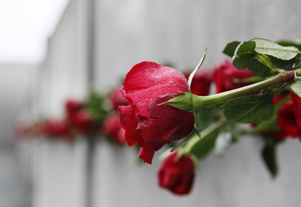 26. Красные розы были оставлены в трещинах оставшейся части Берлинской стены во время памятного события в честь 20-летия падения стены в Берлине 9 ноября 2009 года. (DAVID GANNON/AFP/Getty Images)