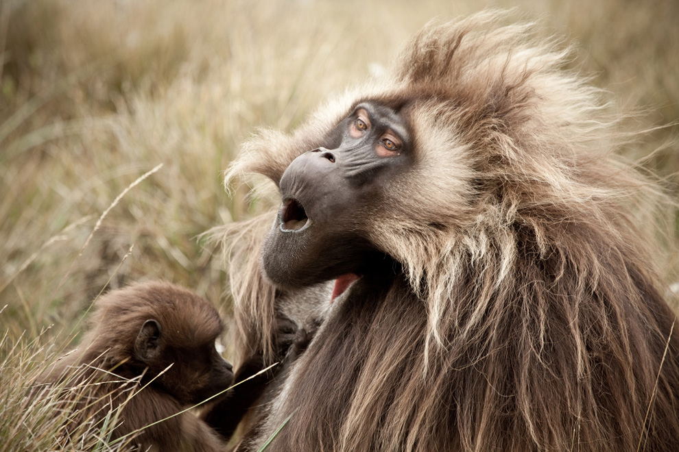 5. Самец гелады на плато Гуасса на Эфиопском нагорье наслаждается чисткой. (Photo and caption by Robin Moore)