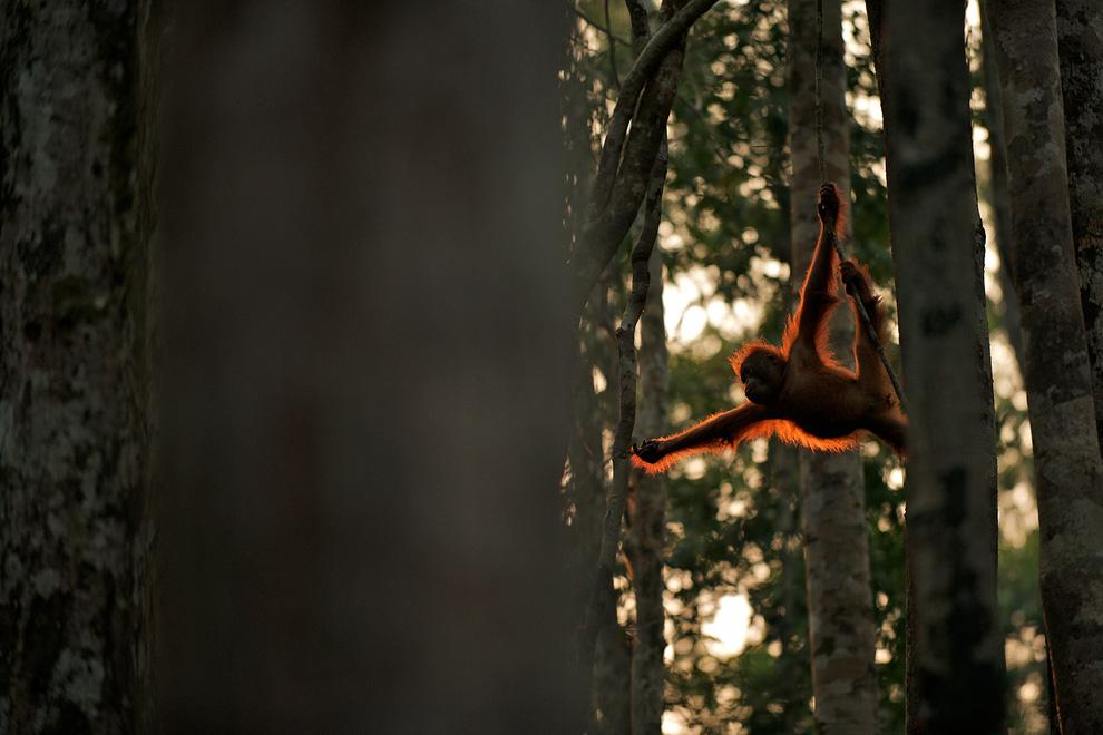 12. Молодой орангутанг перемещается с дерева на дерево в Национальном парке Танджун Путинг на Борнео. (Photo and caption by Sean Crane)