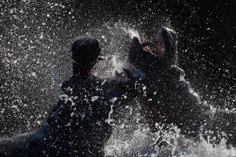 15. Во время посещения Национального парка Крюгер со своим сыном мы перешли по мосту через реку Саби и увидели двух самцов гиппопотама, которые дрались за право доминировать. Крик этих животных во время кровавой драки был невероятен. Сначала они дрались на мелководье недалеко от берега, а затем переместились на более глубокую часть реки. Мы не знаем, чем все закончилось, но зрелище нам понравилось. (Photo and caption by Steve Mandel)