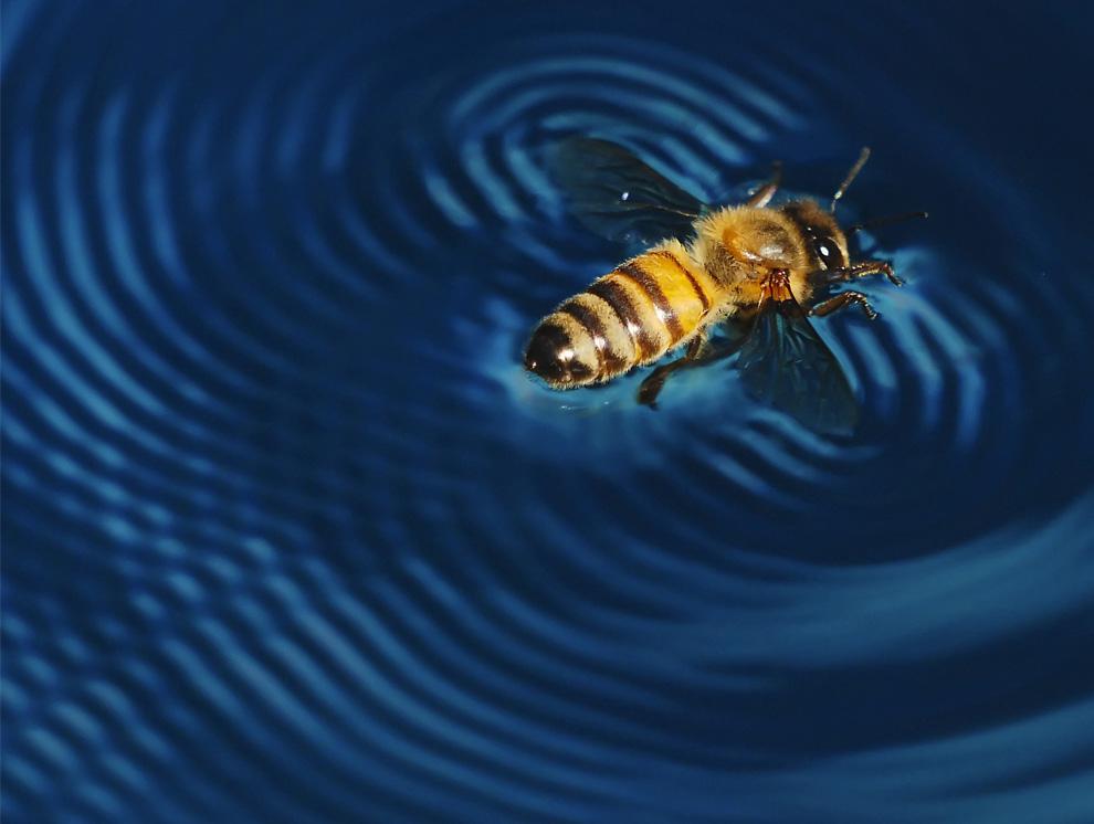22. Этой пчеле не повезло упасть в мой бассейн, но, пытаясь выбраться, она создала удивительные узоры на воде. В итоге ей все-таки удалось улететь. (Photo and caption by Michael Johnson)