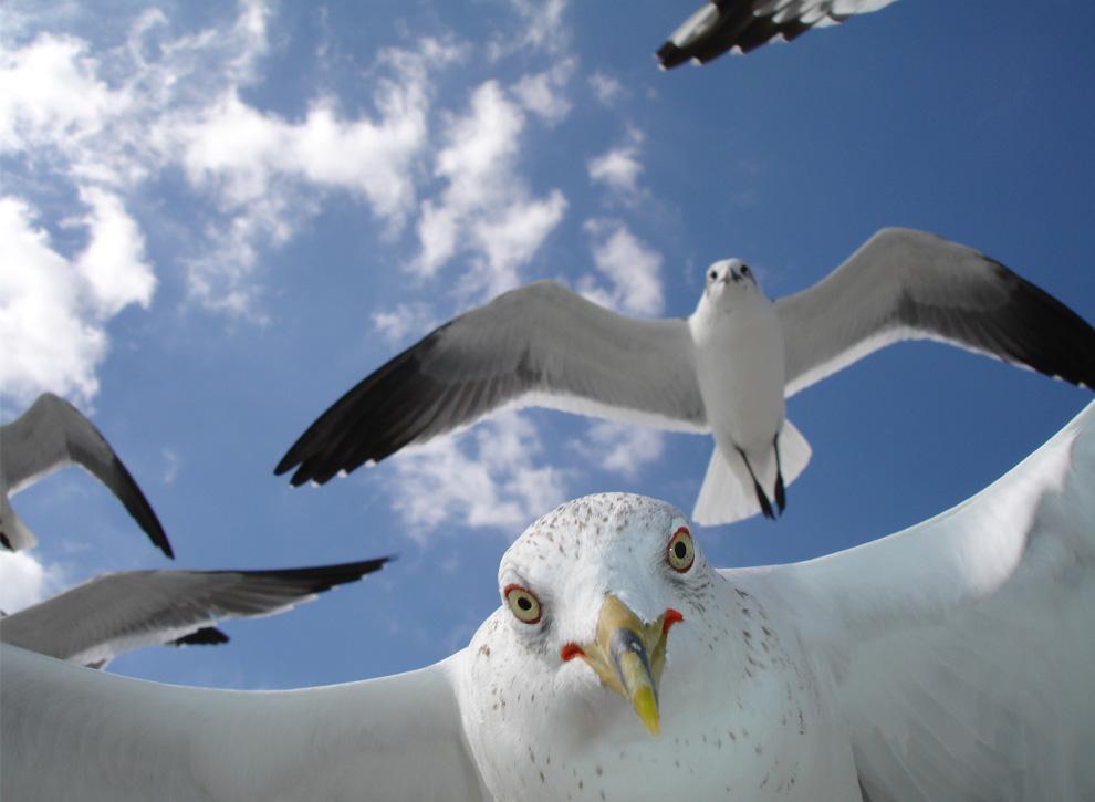 25. Любознательные чайки на острове Санибел, штат Флорида. (Photo and caption by Richard Rush)