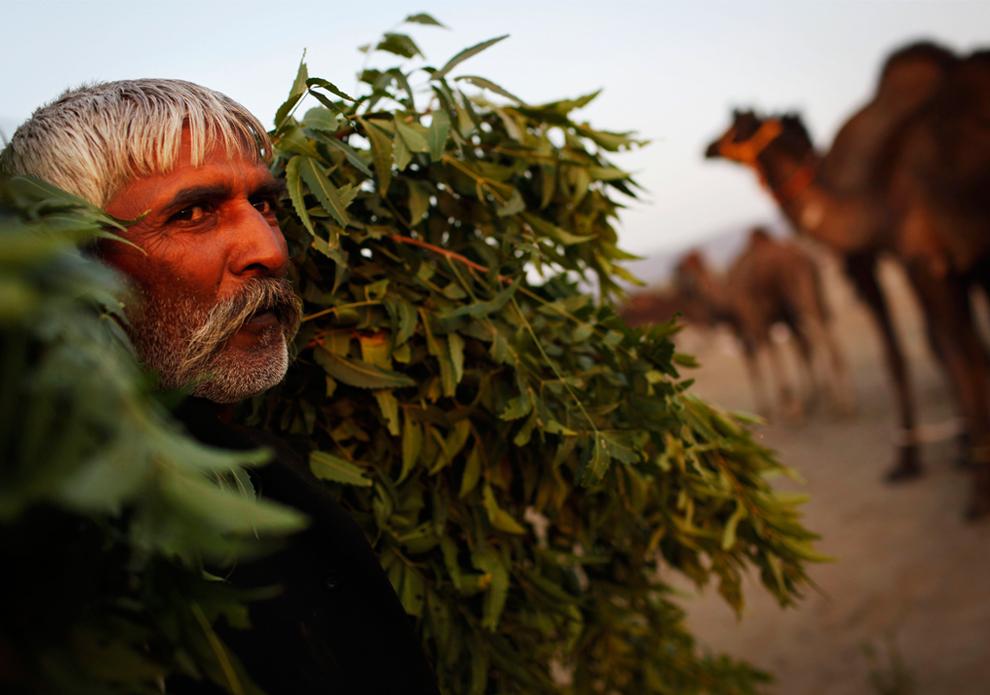 1. Владелец верблюжьего стада несет охапку листьев для верблюдов на ярмарке Пушкар Мела в Пушкаре, Раджастан, Индия, в среду 28 октября 2009 года. (AP Photo/Kevin Frayer)
