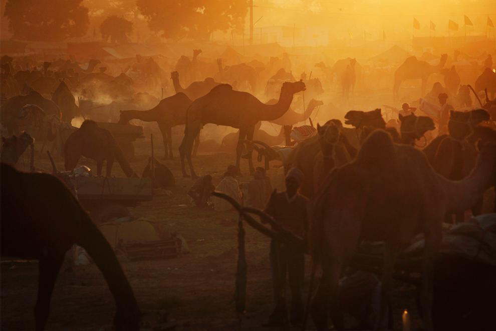 2. Верблюды на рассвете на ярмарке Пушкар Мела в Пушкаре, Раджастан, Индия, утром в среду 28 октября 2009 года. (AP Photo/Kevin Frayer)