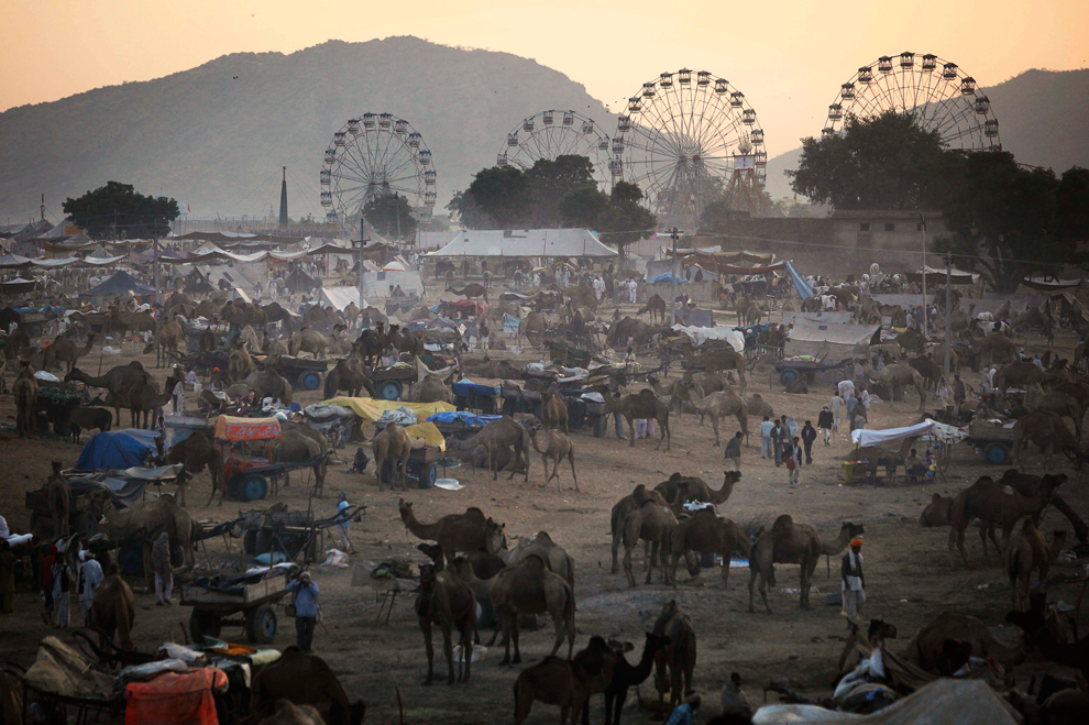 5. Погонщики и верблюды собираются на территории ярмарки на Пушкар Мела 28 октября 2009 года. (AP Photo/Kevin Frayer)