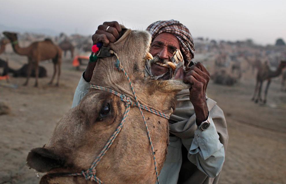 8. Погонщик проверяет зубы верблюда перед тем, как приобрести его на ярмарке Пушкар Мела утром в четверг 29 октября 2009 года. (AP Photo/Kevin Frayer)
