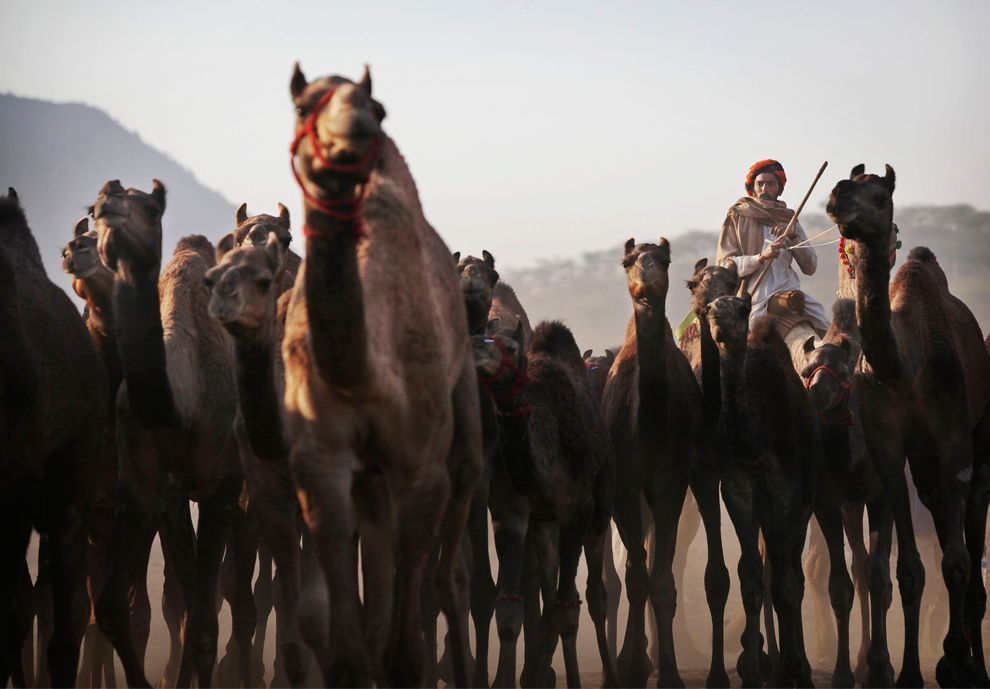 13. Пастух погоняет свое верблюжье стадо в Пушкаре, Раджастан, в четверг 29 октября 2009 года. (AP Photo/Kevin Frayer)
