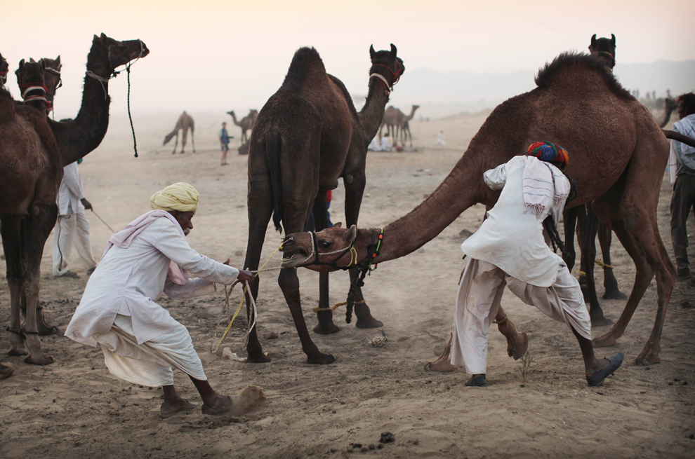 15. Погонщики пытаются отвести упирающегося верблюда на продажу на ярмарке Пушкар Мела в среду 28 октября 2009 года. (AP Photo/Kevin Frayer)
