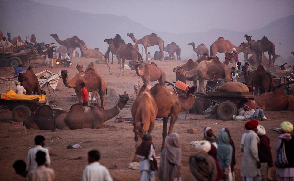 21. Погонщики и их верблюды собрались на ярмарку в Пушкаре, Раджастан, в четверг утром 29 октября 2009 года. (AP Photo/Kevin Frayer)