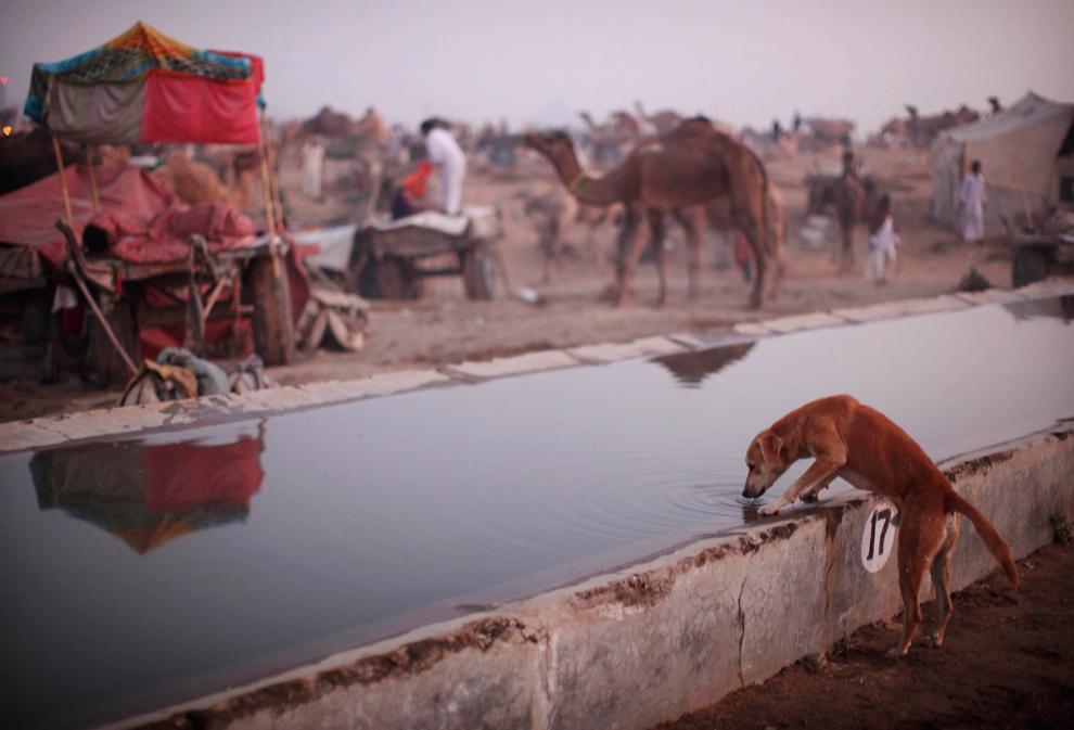 23. Собака пьет воду из поилки для домашнего скота на ярмарке Пушкар Мела в четверг 29 октября. (AP Photo/Kevin Frayer)