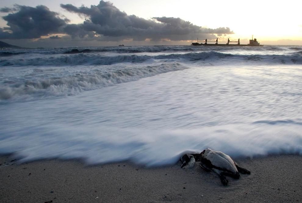 13. Мертвый пингвин лежит на пляже на фоне турецкого судна MV SELI 1 с грузом в 30 000 тонн угля на борту, которое проходит недалеко от Кейптауна 8 сентября 2009 года. Судно, четко видимое с береговой линии города, перевозило 600 тонн вязкого мазута и 60 тонн дизельного топлива. Но, как сообщают власти, ни один контейнер не был поврежден. (REUTERS/Mike Hutchings)