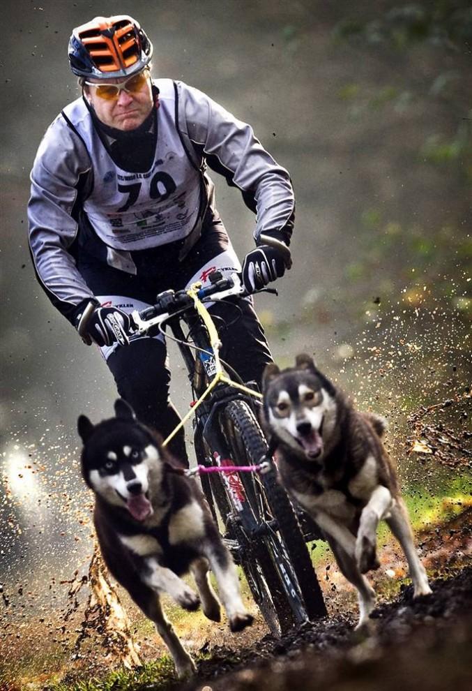 8) Ездовые собаки тащат велосипедиста во время гонки через лес Grolloo в Нидерландах. (Koen Van Weel/EPA)
