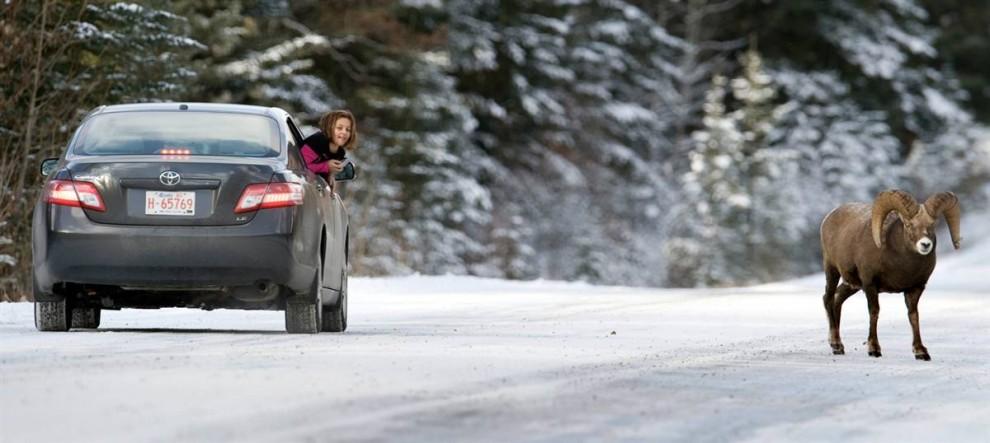 1) Девочка фотографирует снежного барана на дороге между Банфом и озером Луиз в Канаде. (Don Emmert/AFP - Getty Images)