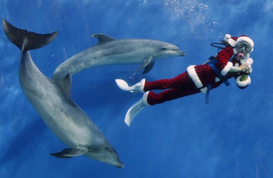 1. Дайвер в костюме Санта Клауса плавает с дельфинами в аквариуме «Морской рай» в Йокохаме к югу от Токио 15 ноября 2009 года. 25 декабря 2009 года здесь пройдет рождественское мероприятие. (REUTERS/Yuriko Nakao)