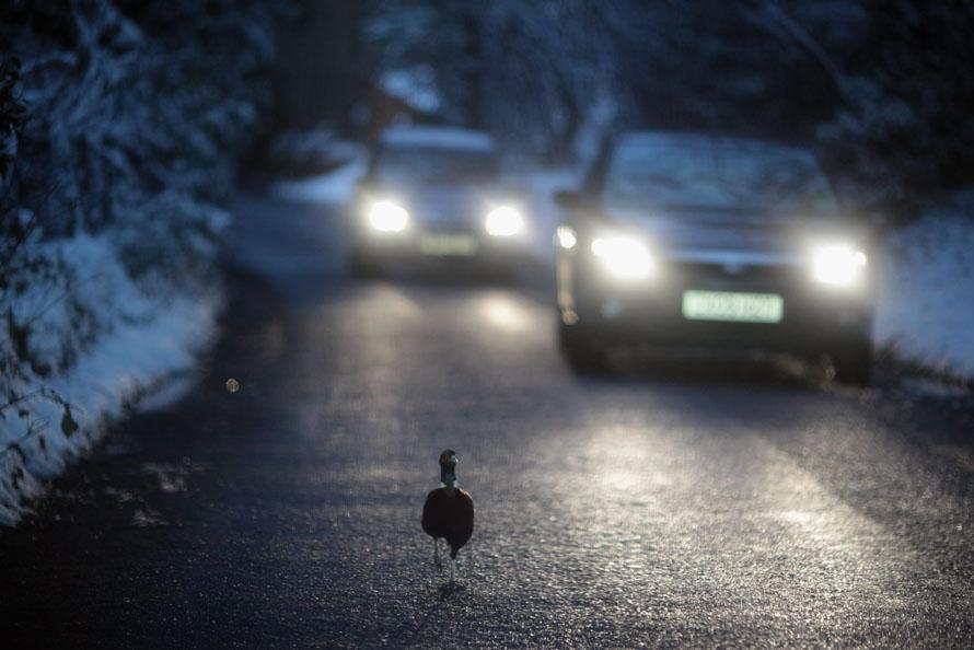2) Автомобили притормозили перед фазаном, который бежит по дороге недалеко от английского города Колдхарбор. Из-за сильных снегопадов в большей части юго-востока Англии были закрыты аэропорты и нарушено движение автомобилей. (Photo by Dan Kitwood/Getty Images)