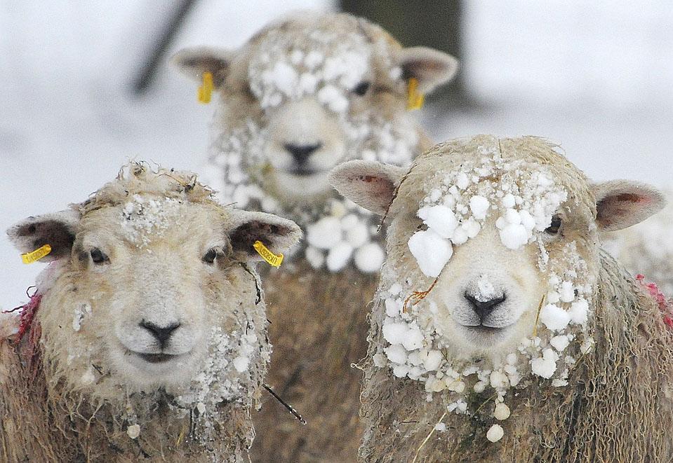 1. Овцы в снегу в Хелперби, северная Англия. Снегопады, лед и морозный туман изрядно подпортили настроение жителям Лондона перед Рождеством. (Nigel Roddis/Reuters)