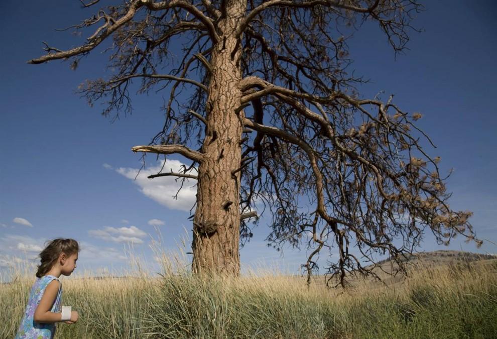 2. Желтая сосна, которая может дожить до нескольких сотен лет, уже среди жертв насекомых и пожаров. Более того, по мере иссушения земли деревья слабеют, а насекомые-паразиты, привлекаемые сюда теплыми зимами, только укрепляют свои силы. (Nina Berman / Consequences by NOOR)