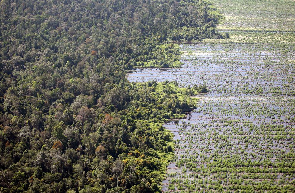 4) На этом фото, сделанном 2 ноября 2007 года, вы видите торфяные леса рядом с расчищенным торфяником, который приготовили для плантации в Кампаре у Пеканбару, Риау. Торфяники – это болотистые леса, эффективно поглощающие парниковые газы, выпускаемые крупными промышленными странами. Широко распространенная вырубка лесов сделала Индонезию третьим крупнейшим источником выбросов углекислого газа в мире. Во многом это произошло из-за почти ежегодных пожаров на таких островах, как Суматра и Борнео. (AHMAD ZAMRONI/AFP/Getty Images)