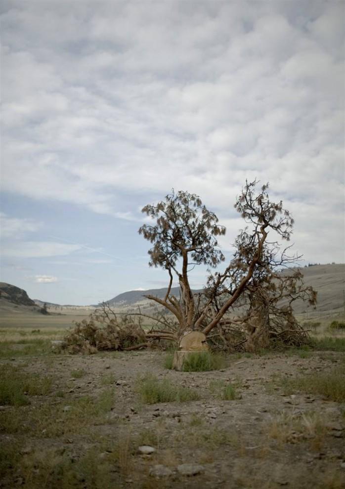 3. Владельцам ранчо рядом с Кэмлупсом, Британская Колумбия, пришлось срубить это дерево, убитое лубоедом-стригуном. К 2020 году насекомые принесут столько вреда, что ожидается, что леса Британской Колумбии станут выпускать больше углекислого газа, чем смогут поглощать. Это значит, что через два десятилетия в атмосфере будет на 1 миллиард тонн углекислого газа больше – это практически столько же, сколько за пять лет выпустит транспортный сектор всей Канады. (Nina Berman/noor / Consequences by NOOR)