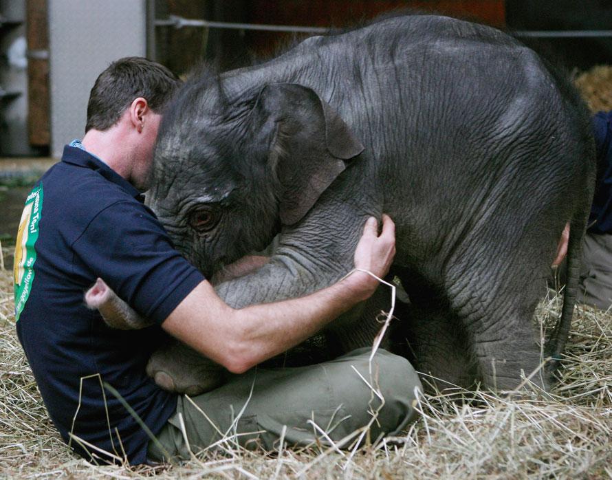 3. Новорожденный слоненок Джамуна Тони играет с одним из смотрителей в зоопарке Хеллабрунн в среду в Мюнхене, Германия. Самка родилась 21 декабря и весит 112 кг. (Photo by Alexandra Beier/Getty Images)